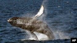 Une baleine à bosse prise en image lors de son saut spectaculaire du fond de la mer au large de la côte de Long Beach, samedi 11 juillet 2015.
