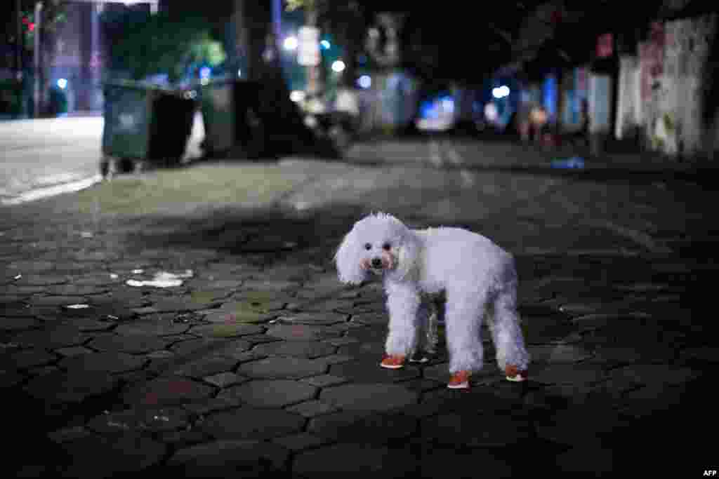 A poodle wearing small booties stands near its owner at a sidewalk in downtown Hanoi, Vietnam.