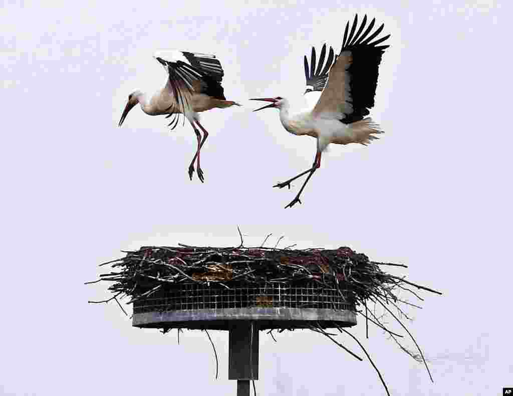 A stork chases away another stork from its nest in Biebesheim, south of Frankfurt, Germany.