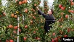 Gần 100% tổng số táo Mỹ bán sang thị trường Việt Nam xuất xứ từ tiểu bang Washington, theo thông cáo của sứ quán Mỹ.