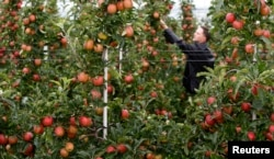 Farmer Martin Hagen inspects his Gala apple trees ahead of the harvest in two weeks time, in Kressbronn near Lindau at lake Bodensee, southern Germany, Aug. 20, 2014.