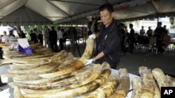 A Thai customs official displays seized elephant tusks smuggled into Thailand from Kenya during a press conference at the customs headquarters in Bangkok, April 1, 2011