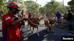 "Tim pencari dan penyelamatan ternak membantu petani menaikkan ternak mereka ke dalam truk yang menghalangi jalan di dekat Gunung Agung, yang sedang dalam tingkat ""Awas"", dekat Kubu, Bali, Indonesia, 27 September 2017. (REUTERS / Darren Whiteside)"