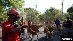 Tim pencari dan penyelamatan ternak membantu petani menaikkan ternak mereka ke dalam truk yang menghalangi jalan di dekat Gunung Agung, yang saini sudah memasuki fase kritis, dekat Kubu, Bali, 27 September 2017. (REUTERS / Darren Whiteside)