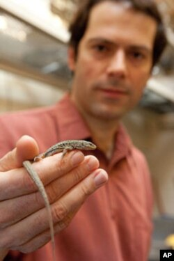 University of Michigan vertebrate ecologist Johannes Foufopoulos with an Aegean wall lizard.