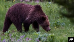 FILE - A grizzly bear roams near Beaver Lake in Yellowstone National Park, Wyoming, July 6, 2011.