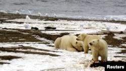 미국 알래스카주 보퍼트 해의 북극천연자원보호구역에 새끼 북극곰 두마리와 어미 북극곰의 모습이 보인다.