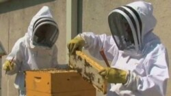 Tending to the beehives on the roof of the Fairmont Hotel in Washington
