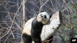 大熊貓美香(資料圖片)