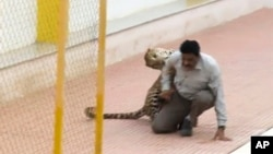 A leopard attacks a man at a school in Bangalore, India, Feb. 7, 2016.