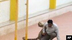 Seekor macan tutul menyerang seorang pria di sekolah di Bangalore, India, 7 Februari 2016.