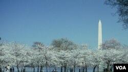 Los Cherry Blossom adornan la ciudad por aproximadamente un mes, durante estas festividades.