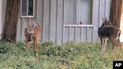 Beberapa rusa sedang merumput di halaman depan sebuah rumah di Southold, New York, 31 Januari 2014. (Foto:AP)