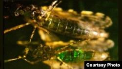 Genetically engineered bacteria glow fluorescent green inside mosquito. (Credit: Johns Hopkins Bloomberg School of Public Health)