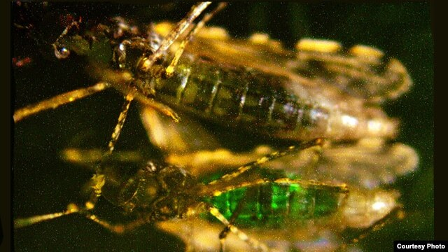 Genetically engineered bacteria glow fluorescent green inside mosquito. (Credit: Johns Hopkins Bloomberg School of Public Health)