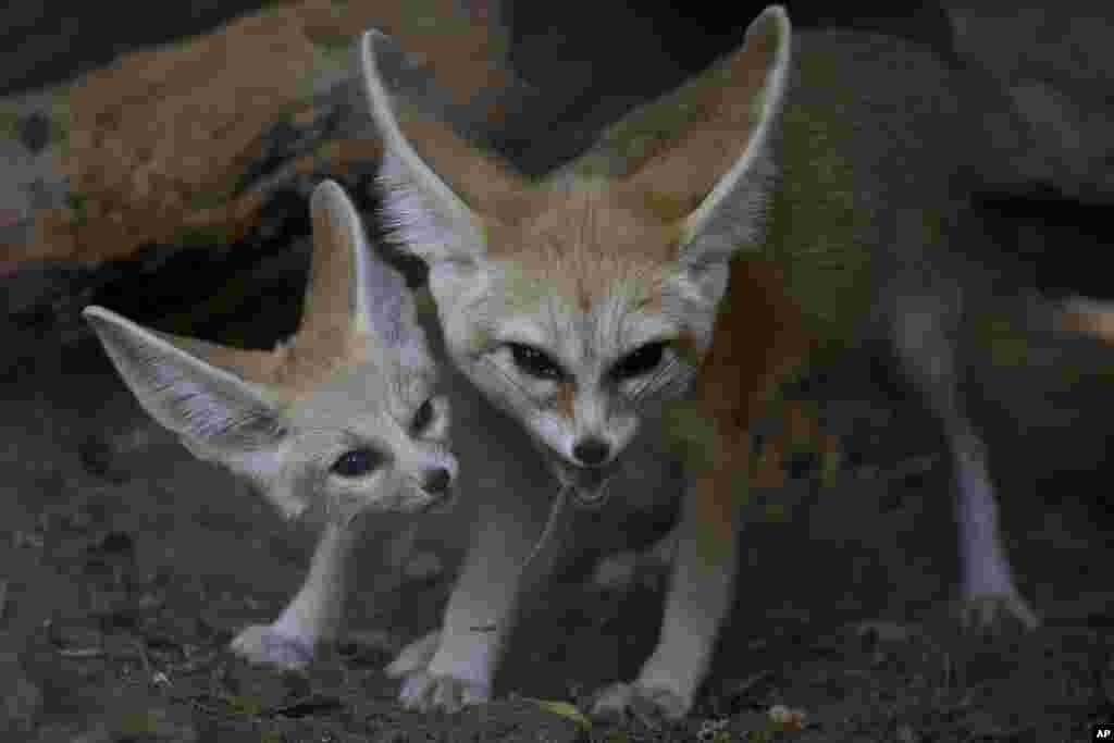 Raposas da raça Fennec, a mais pequena do Mundo e originária do deserto do Saará.