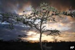 Trees like the Acacia Drepanolobium, common in Kenyan highlands savanna, help absorb carbon from the atmosphere that causes global warming.