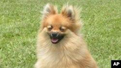 สุนัขพันธุ์ Sharpei ของจีนได้เข้ารอบชิงชนะเลิศ หรือ Best in Show ในการประกวดสุนัขประจำปี Westminster ในนครนิวยอร์ค
