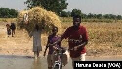 Matsalar da manoma shinkafa ke fuskanta a jihar Borno,Babu hanya