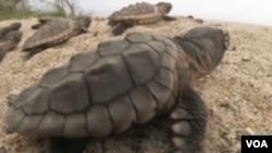 Kornjače: Čudesni migracijski ciklus dug 15.000 kilometara