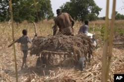 A Nigerien farmer takes home his harvest of sorghum. The superior stress-resistant traits of sorghum make it a good candidate for the hot dry regions of West Africa.