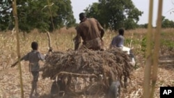 A Nigerien farmer takes home his harvest of sorghum.