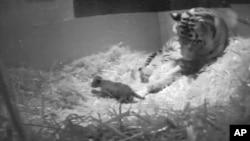 Gambar rekaman video kelahiran bayi harimau Sumatera di Kebun Binatang London, 22 September.