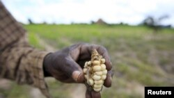 A Zimbabwean subsistence farmer holds a stunted maize cob in his field outside Harare, Jan. 20, 2016. (REUTERS/Philimon Bulawayo)