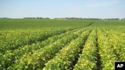 Cánh đồng đậu nành giàu Omega-3 của công ty Monsanto. Hơn 90% các loại đậu nành trồng ở Hoa Kỳ có đặc điểm 'sẵn sàng chống Round-Up'