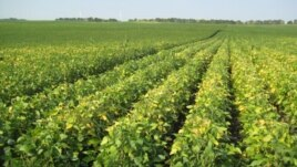 Monsanto's high-omega-3 soybeans