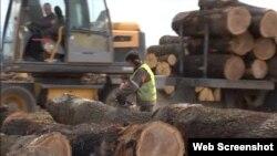 """法国""""马格丽特力方丹""""锯木厂工人在锯橡木(视频截图)"""