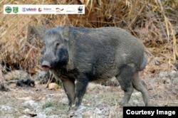 A wild pig. (World Wildlife Fund)