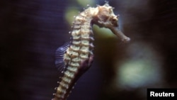 FILE - A seahorse swims in a tank at the Underwater World Aquarium in Pattaya, nearly 145 km (90 miles) east of Bangkok, Thailand, Aug. 20, 2005.