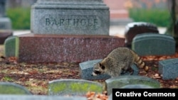 Raccoon roaming Jefferson Barracks National Cemetery, St. Louis County, Missouri. (Jason Matthews, Creative Commons)