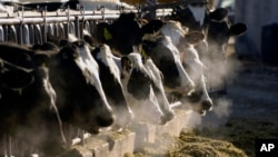 FILE - A line of Holstein dairy cows feed through a fence at a dairy farm in Idaho. Funk Dairy near Murtaugh, Idaho, is the subject of a human trafficking lawsuit.