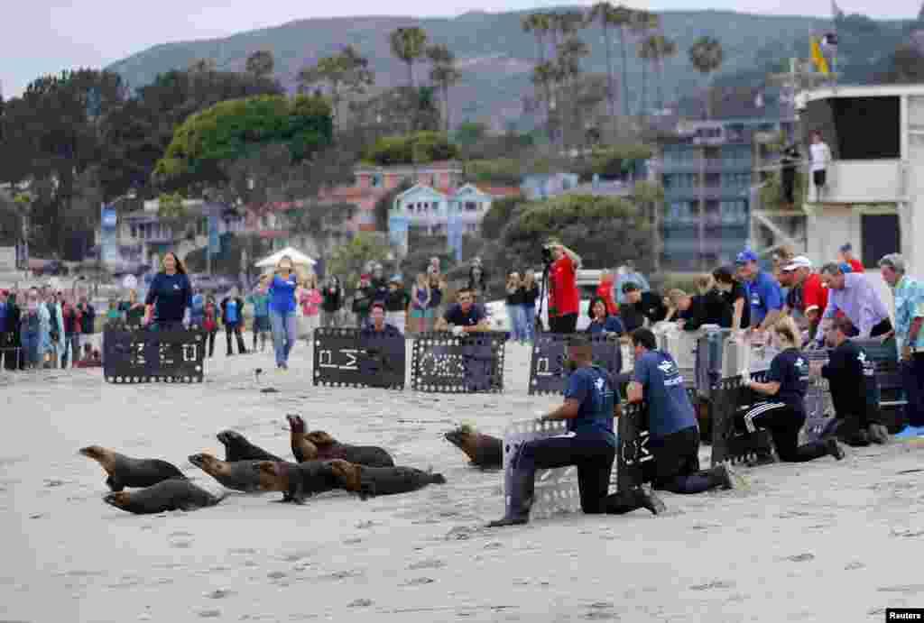 14 con sư tử biển, được Trung tâm Động vật có vú Đại dương Thái Bình Dương giải cứu, thả trở về biển ở Bãi biển Laguna, bang California, ngày 2 tháng 6, 2015.
