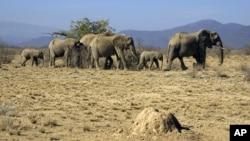 Африканские слоны. Кения, национальный заповедник «Самбуру»