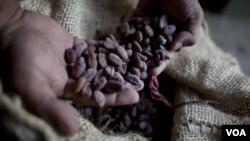委内瑞拉一名工人在可可种植地手捧干可可豆