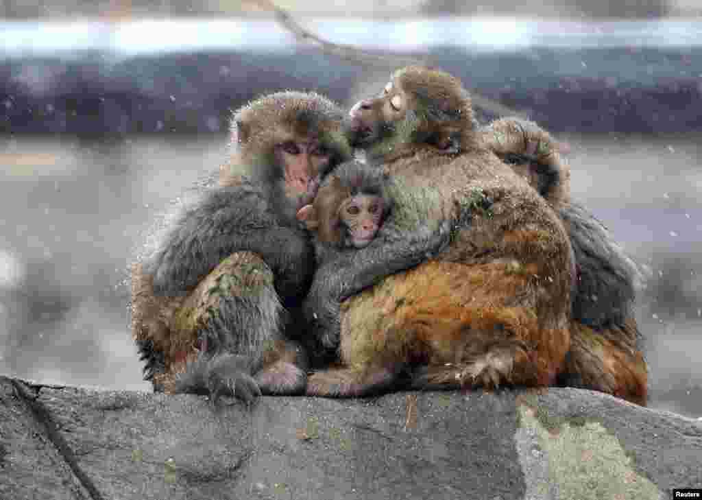 Beberapa ekor monyet saling berpelukan saat salju turun di pegunungan Huaguo, Lianyungang, Jiangsu, China.