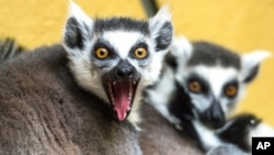Ring-tailed lemurs sit in their enclosure in the zoo in Straubing, southern Germany, March 25, 2013.