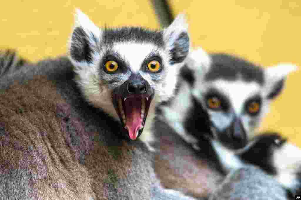 德国南部施特劳宾动物园饲养的环纹尾狐猿。