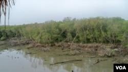 Kawasan hutan bakau yang rusak di pantai timur Surabaya. (VOA/Petrus Riski)