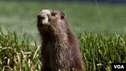 El Día de la Marmota se celebra el segundo día de febrero en ciudades y poblados de Estados Unidos y Canadá.