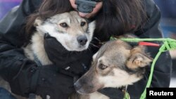 FILE - Handler Connie LaRose hugs the sled dogs before the official start of the 2015 Iditarod Trail Sled Dog race in Fairbanks, Alaska, March 9, 2015.