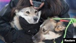 Cô Connie LaRose ôm những con chó kéo xe trước khi bắt đầu cuộc đua chó kéo Iditarod năm 2015 tại Fairbanks, Alaska.