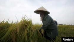 A farmer harvests rice on a paddy field in Vinh Ngoc village, outside Hanoi, Vietnam June 2, 2015.