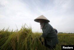 베트남 하노이 인근에서 농부가 벼를 수확하고 있다.