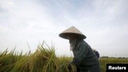 Sự phân hóa giữa người giàu người nghèo, giữa vùng miền ngày càng nới rộng ra. Trong ảnh, một nông dân thu hoạch lúa ở ngoại thành Hà Nội.