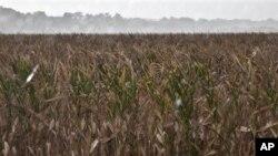 Dampak kemarau panjang dan kerusakan tanaman pangan lebih parah di negara berkembang daripada di negara maju, karena petani kecil tidak memiliki asuransi pertanian atau bantuan sosial seperti di negara maju (foto: Dok.).