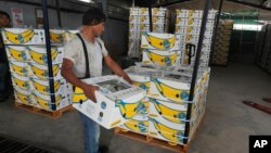 Radnici nose kutije sa bananama na farmi u Meksiku